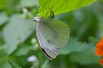 Large White Butterfly female laying eggs beneath a nasturtium leaf