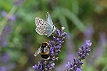 Chalkhill Blue Butterfly sharing lavender flowers with a bumblebee