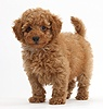 Cute red Toy Poodle puppy standing