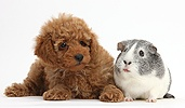 Cute red Toy Poodle puppy and Guinea pig