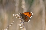 Small Heath Butterfly resting in late evening sun