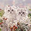 Persian kittens among daisies and rose hips