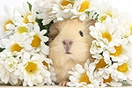 Cute baby yellow Guinea pig among daisy flowers