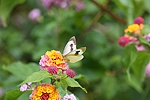 Canary Island Large White butterfly on Lantana