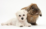 Cute white Bichon x Yorkie puppy and rabbit