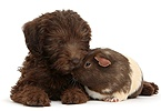 Chocolate Labradoodle puppy and Guinea pig