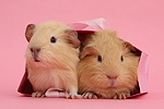 Baby yellow Guinea pigs in pink gift bag