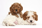 Cute sleepy Cavapoo puppies