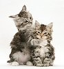 Tabby Maine Coon kittens