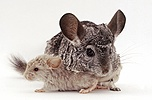 Chinchilla and baby