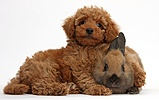 Cute red Toy Poodle puppy and rabbit