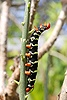 Giant Grey Sphinx moth caterpillar or Frangipani Worm