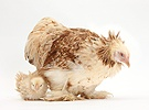 Bantam hen and frizzle feather chicken chick