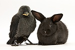 Baby Jackdaw and baby black rabbit