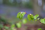 Spring Beech leaves in a Cotswold wood
