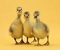 Three Embden x Greylag Goslings on yellow background