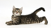 Tabby kitten lying stretched out