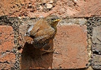 Fledgling Wren on a brick wall