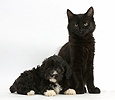 Fluffy black kitten with black-and-white puppy