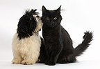 Black-and-white Shih-tzu pup and black kitten