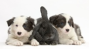 Two blue-and-white Border Collie pups and rabbit