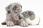 Great Dane puppy and Guinea pig