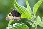 Small Tortoiseshell Butterfly laying eggs on nettle