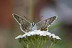 Chalkhill blue butterfly on Yarrow
