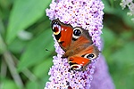 Peacock butterfly in Buddleia