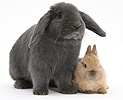 Blue lop rabbit and baby Netherland Dwarf bunny