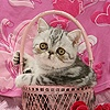 Exotic kitten in a pink basket