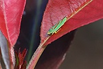 Rhododendron Leafhopper on Photinia leaf