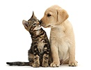 Tabby kitten nose to nose with cute Labrador puppy