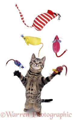 Cat juggling toy mice.