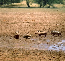 Warthogs in Mud