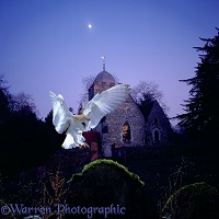 Barn Owl & Albury Church