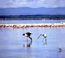 Spoonbills at Nakuru