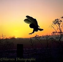 Barn Owl silhouette at sunset