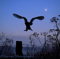 Barn Owl silhouette with moon