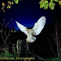 Barn Owl alighting on a fencepost