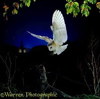 Barn Owl landing on a fencepost