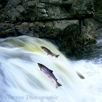 Atlantic Salmon leaping
