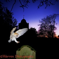 Barn Owl & Albury Church silhouette