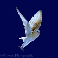 Barn Owl on blue background