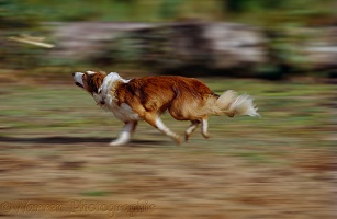 Border Collie bitch chasing a Frisbee