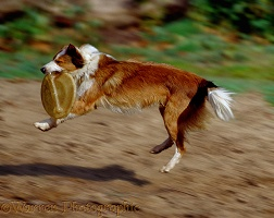 Border Collie bitch catching a Frisbee