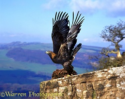Golden Eagle on rock