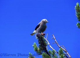 Clark's Nutcracker on Whitebark Pine