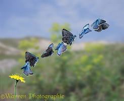 Chalkhill Blue taking off multiple exposure