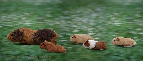 Guinea Pigs in motion